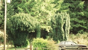 Yew bushes in driveway