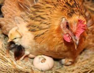 hen nesting
