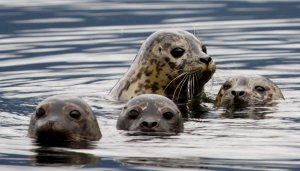 seal with pups