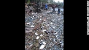 Bird die off Alaska