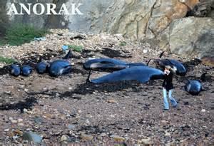 pilot whale die off